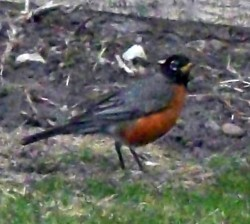 Robin Red Breast Poses