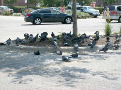 Pigeons seek shelter in shopping mall parking lot