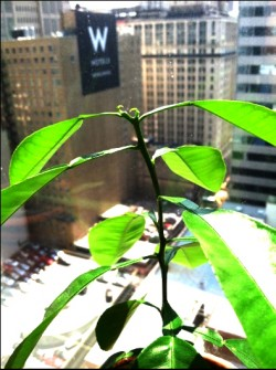 Grapefruit in Chicago Highrise Office