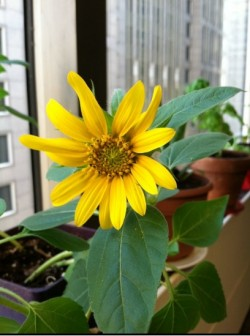 Sunflower In Highrise Office