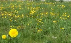 Dandelion Garden